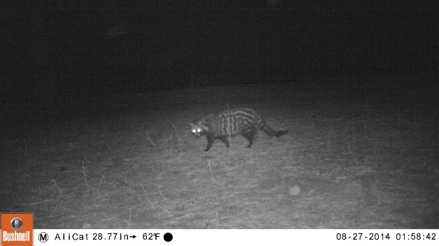 Civet caught on the camera trap