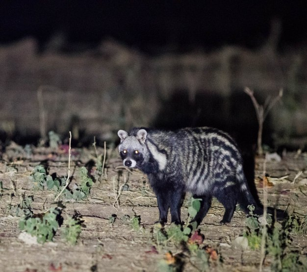 The civet that came exploring in our campsite one night