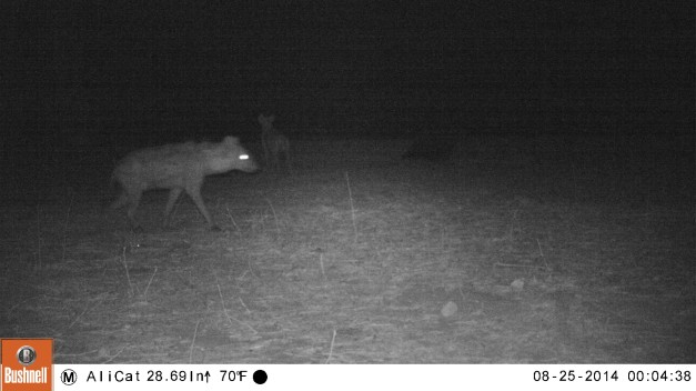 Two hyena's caught on the camera trap in Nyamepi