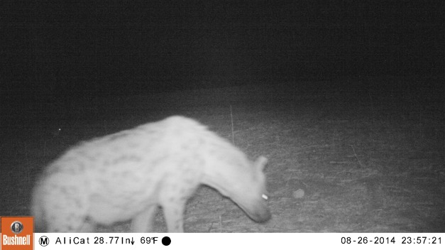Hyena on the camera trap