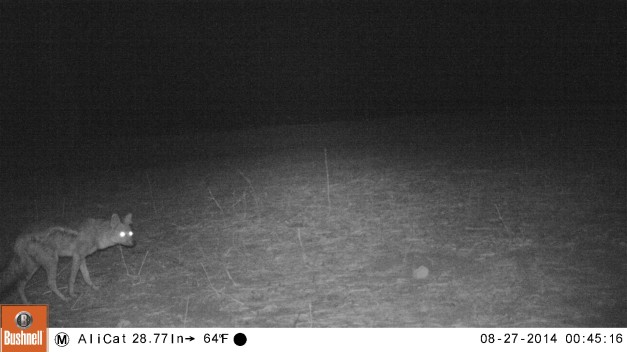 Black-backed jackal caught on the camera trap