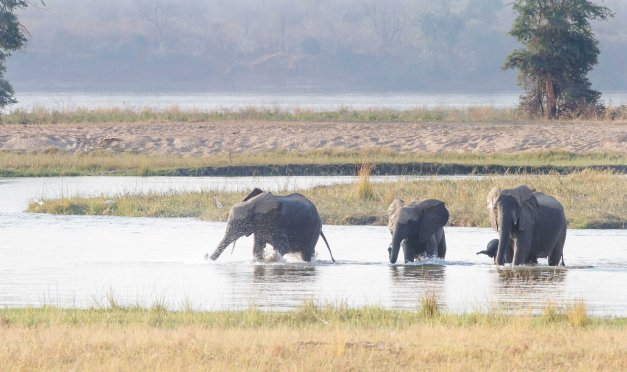 Ellies crossing the Zambezi in front of our campsite