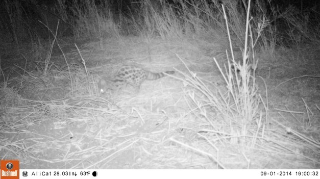 Spotted genet in camp at Limpopo River Lodge