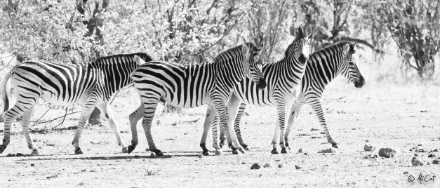 Zebra in black & white.... as they should be