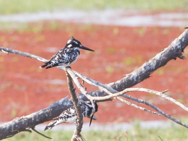 Pied Kingfisher at Mana Mouth