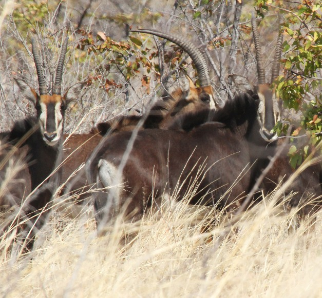 A few of the herd of sable seen on Hunters Rd