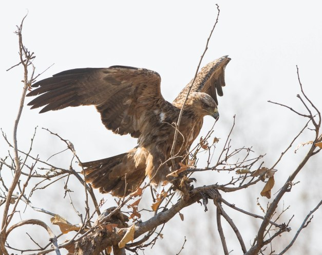 Tawny eagle coming in to land near the ellie carcass