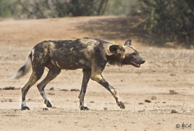 Wild dog sighting 5 mins after entering Chitake Springs