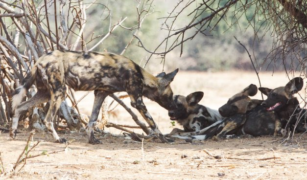 Pack of wild dog greeting each other before flopping down in the shade to snooze